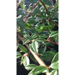 Cotoneaster salicifolius 'Parkteppich' - Kúszó fűzlevelű madárbirs