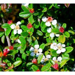 Cotoneaster suecicus 'Skogholm' - Svéd madárbirs