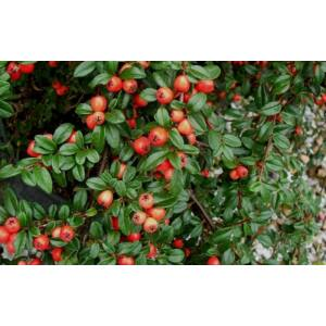 Cotoneaster x suecicus 'Coral Beauty' - Dúsan virágzó Svéd madárbirs