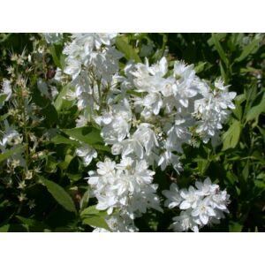 Deutzia gracilis - Kecses gyöngyvirágcserje