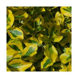 Euonymus fortunei 'Sunspot' - Arany kúszó kecskerágó