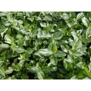 Euonymus fortunei 'Coloratus' - Zöld levelű kúszó kecskerágó