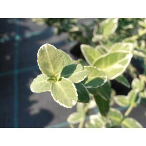 Euonymus fortunei 'Emerald'n Gaiety' - Fehértarka kúszó kecskerágó