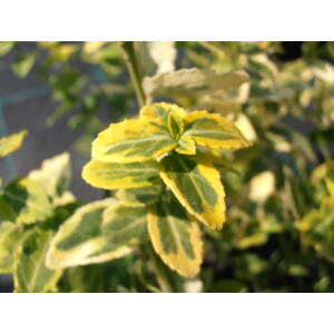 Euonymus fortunei Emerald'n Gold - Aranytarka kúszó kecskerágó