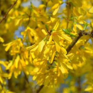 Forsythia suspensa 'Aurea' – Bókoló aranycserje