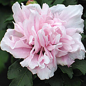 Hibiscus syriacus 'Lady Stanley' - Magas törzsű, halvány rózsaszín mályvacserje