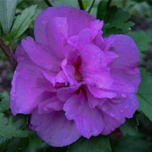 Hibiscus syriacus 'Ardens' - Magas törzsű, lila virágú mályvacserje