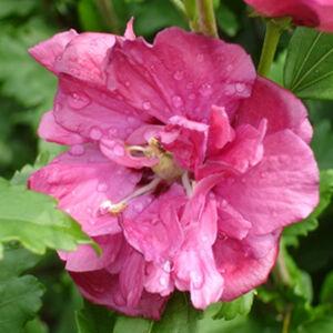 Hibiscus syriacus 'Duc de Brabant' - Telt lilásrózsaszín virágú mályvacserje