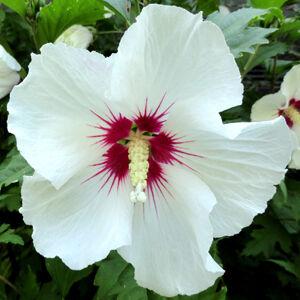 Hibiscus syriacus 'Red Heart' -  Fehér virágú vörös torkú mályvacserje