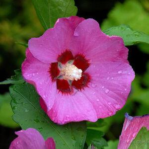 Hibiscus syriacus 'Woodbridge' - Sötét rózsaszín virágú mályvacserje