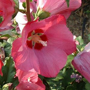 Hibiscus syriacus 'Woodbridge' - Magas törzsű sötét rózsaszín virágú mályvacserje
