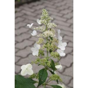Hydrangea paniculata 'Grandiflora' - Fehér, kúpvirágú cserjés hortenzia