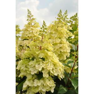Hydrangea paniculata 'Candlelight' - Bugás hortenziaHydrangea paniculata 'Candlelight' - Fehér, bugás hortenzia