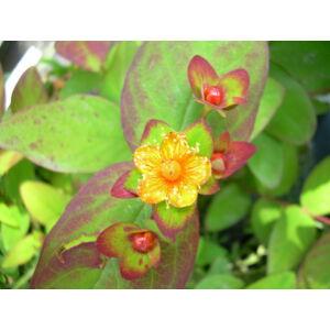 Hypericum androsaemum 'Albury Purple' - Bordó levelű orbáncfű