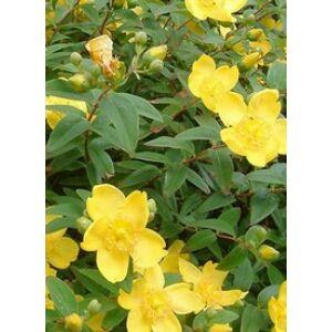Hypericum calycinum 'Rose von sharon' - Bőrlevelű orbáncfű