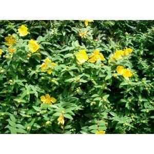 Hypericum patulum 'Hidcote' - Japán orbáncfű