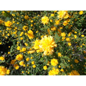 Kerria japonica 'Pleniflora' - Teltvirágú boglárkacserje