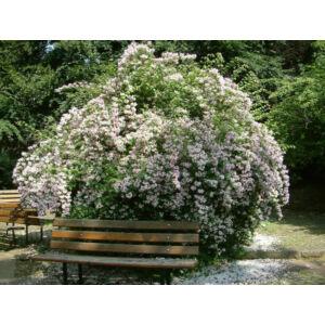 Kolkwitzia amabilis - Viráglonc