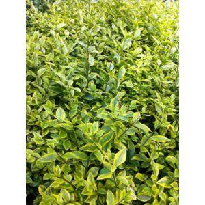 Ligustrum ovalifolium 'Aureum' - Aranytarka levelű fagyal