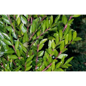 Lonicera pileata - Örökzöld törpeloncLonicera pileata - Örökzöld talajtakaró törpelonc