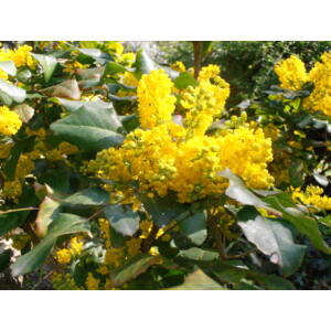 Mahonia aquifolium – Kerti mahónia