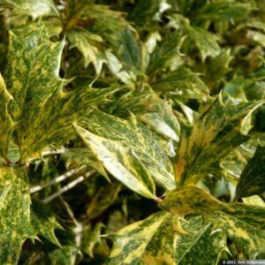 Osmanthus heterophyllus 'Tricolor' - Változékony illatvirág