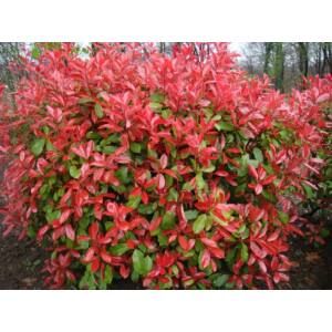 Photinia fraseri 'Red Robin' - Vörös korallberkenye