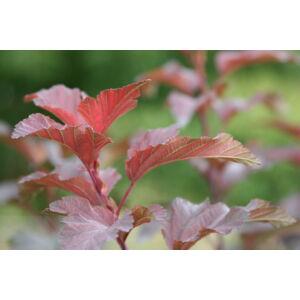 Physocarpus opulifolius 'Diabolo' - Vöröslevelű hólyagvessző