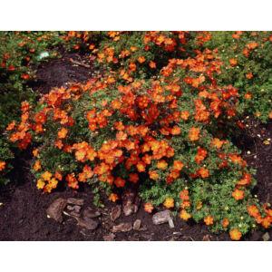 Potentilla fruticosa 'Red Ace' - Narancsvirágú pimpó