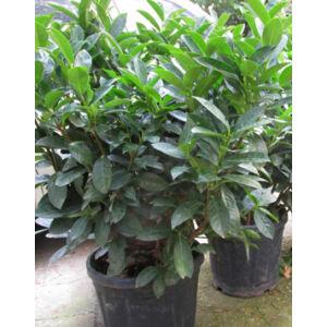 Prunus laurocerasus 'Cippora' – Cippora babérmeggy