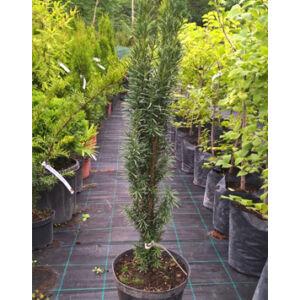 Taxus baccata 'Fastigiata' - Oszlopos tiszafa