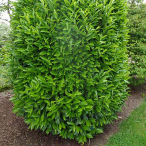 Prunus laurocerasus 'Genolia' – Oszlopos babérmeggy