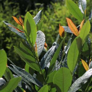 Prunus laurocerasus 'Hibani' – Közönséges babérmeggy