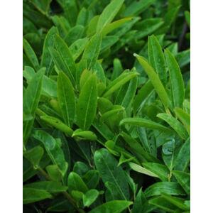 Prunus laurocerasus 'Klári' – Babérmeggy