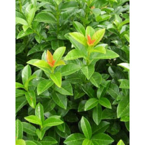 Prunus laurocerasus 'Kleopátra®' – Magas törzsű babérmeggy