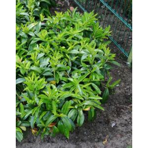 Prunus laurocerasus 'Mount Vernon' – Törpe babérmeggy