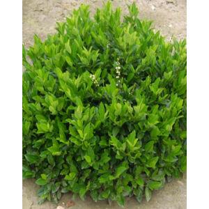 Prunus laurocerasus 'Piri klón' – Törpe babérmeggy