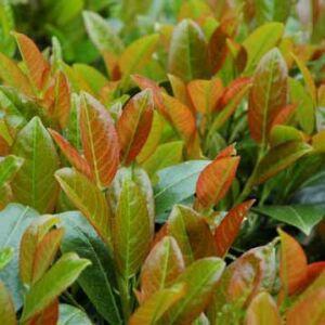 Prunus laurocerasus 'Titan' – Babérmeggy