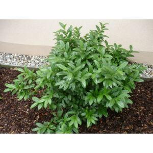Prunus laurocerasus 'Mari' - Babérmeggy