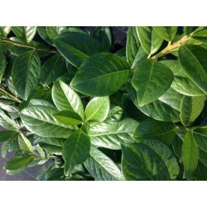 Prunus laurocerasus 'Novita' - Novita babérmeggy