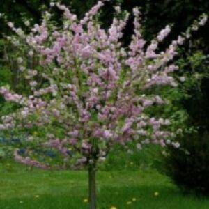 Prunus triloba 'Multiplex' - Babarózsa törzsre oltva