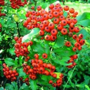 Pyracantha x 'Red Column' - Pirosbogyójú tűztövis