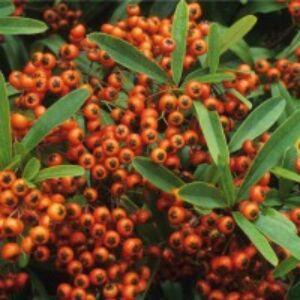 Pyracantha coccinea 'Orange Glow' - Tűztövis