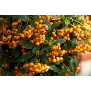Pyracantha coccinea 'Golden Charmer' - Sárga bogyójú tűztövis