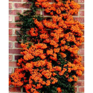 Pyracantha x 'Orange Charmer' - Narancsbogyójú tűztövis