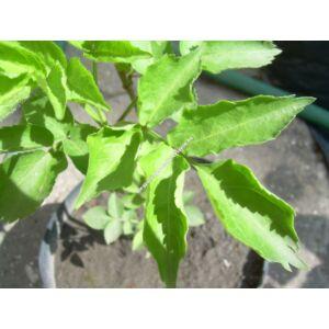 Sambucus nigra – Fekete bodza
