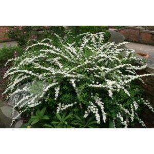 Spiraea nipponica 'Snowmound' - Nipponi gyöngyvessző