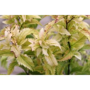 Spiraea japonica 'Crispa' - Rojtos gyöngyvessző