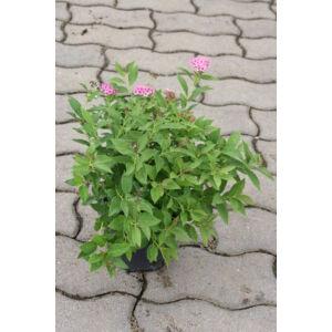 Spiraea japonica 'Genpei' - Dúsvirágú japán gyöngyvessző