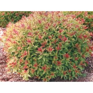 Spiraea japonica 'Goldflame' - Aranypiros japán gyöngyvessző